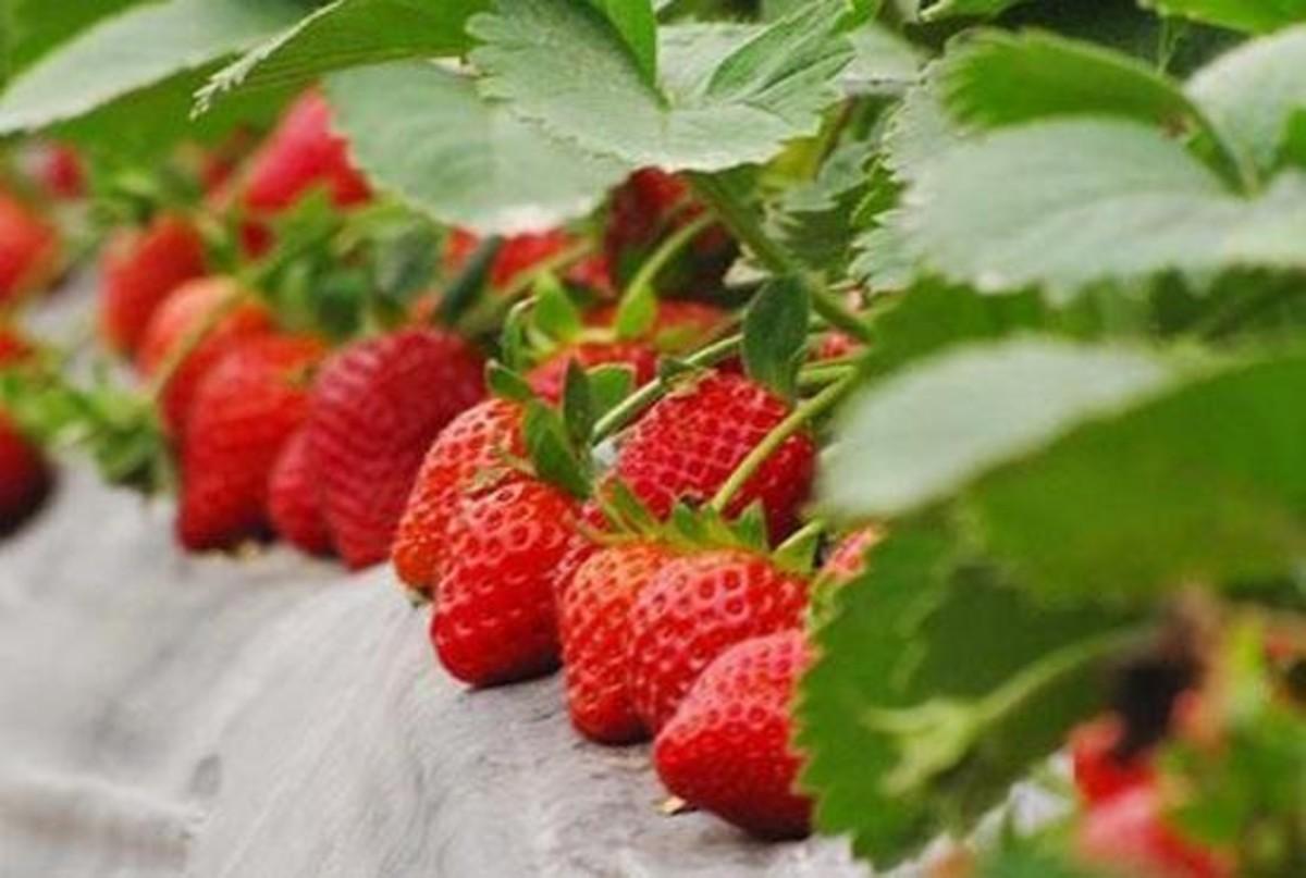 去摘最新鲜的草莓,去农庄里泡一整天